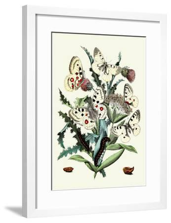 Butterflies: P. Apollo, P. Phoebus-William Forsell Kirby-Framed Art Print