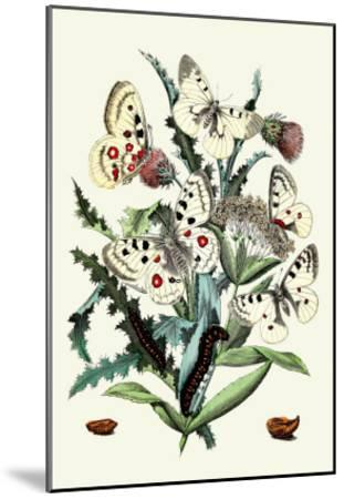 Butterflies: P. Apollo, P. Phoebus-William Forsell Kirby-Mounted Art Print