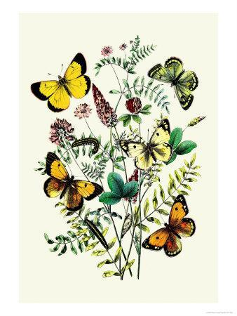 Butterflies: C. Palaeno, C. Phicomene-William Forsell Kirby-Framed Art Print