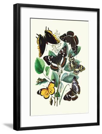 Butterflies: L. Populi, A. Iris-William Forsell Kirby-Framed Art Print