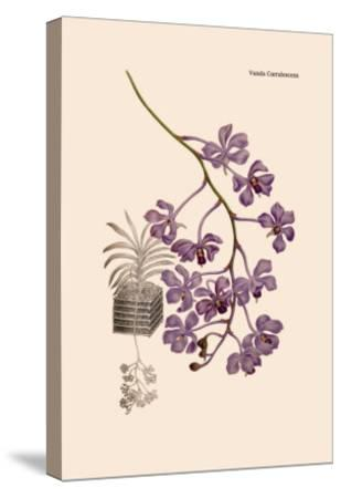 Orchid: Vanda Coerulescens-William Forsell Kirby-Stretched Canvas Print