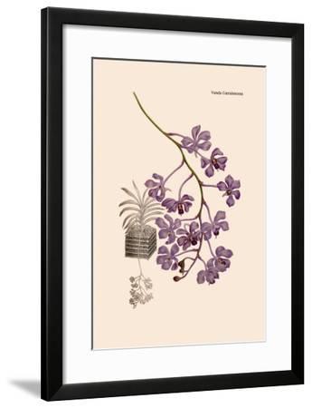 Orchid: Vanda Coerulescens-William Forsell Kirby-Framed Art Print