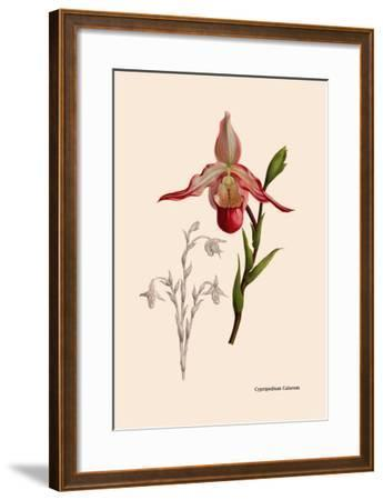 Orchid: Cypripedium Calurum-William Forsell Kirby-Framed Art Print