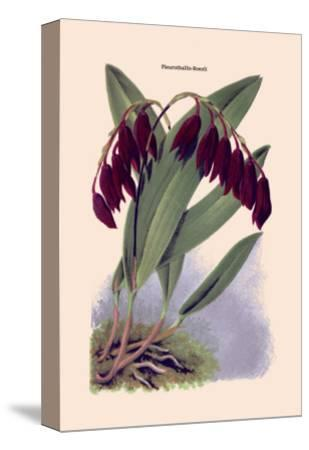 Orchid: Pleurothallis-Roezli-William Forsell Kirby-Stretched Canvas Print