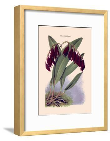Orchid: Pleurothallis-Roezli-William Forsell Kirby-Framed Art Print