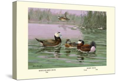 White-Headed and Ruddy Ducks-Allan Brooks-Stretched Canvas Print