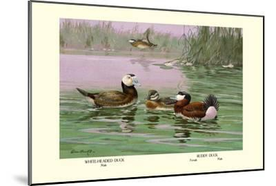 White-Headed and Ruddy Ducks-Allan Brooks-Mounted Art Print