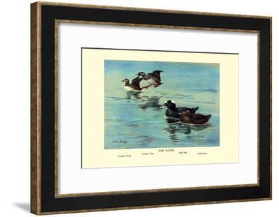 Surf Scoter Ducks-Allan Brooks-Framed Art Print