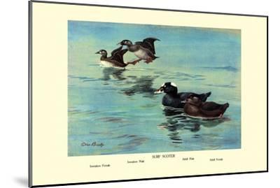 Surf Scoter Ducks-Allan Brooks-Mounted Art Print