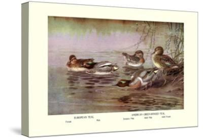 European and American Teal Duck-Allan Brooks-Stretched Canvas Print