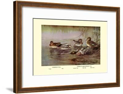 European and American Teal Duck-Allan Brooks-Framed Art Print