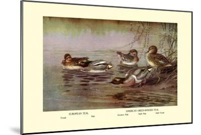 European and American Teal Duck-Allan Brooks-Mounted Art Print
