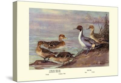 Pintail Ducks-Allan Brooks-Stretched Canvas Print