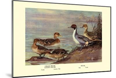 Pintail Ducks-Allan Brooks-Mounted Art Print