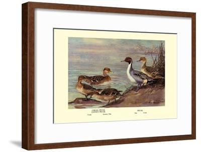 Pintail Ducks-Allan Brooks-Framed Art Print