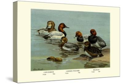 Canvas-Back, Common Pochard and Red-Head Ducks-Allan Brooks-Stretched Canvas Print