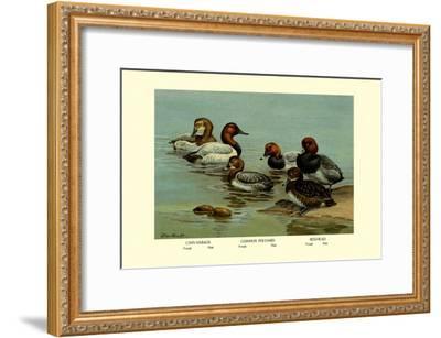 Canvas-Back, Common Pochard and Red-Head Ducks-Allan Brooks-Framed Art Print