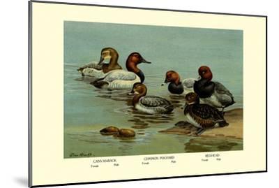 Canvas-Back, Common Pochard and Red-Head Ducks-Allan Brooks-Mounted Art Print