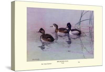 Ring-Necked Duck-Allan Brooks-Stretched Canvas Print