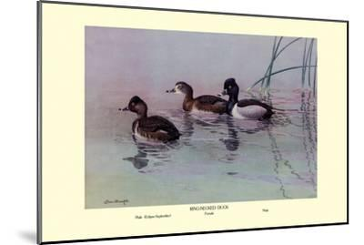 Ring-Necked Duck-Allan Brooks-Mounted Art Print
