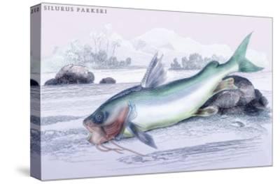 Silurus Parkeri-Robert Hermann Schomburgk-Stretched Canvas Print