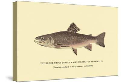 The Brook Trout, Showing Subdued or Early Summer Coloration-H^h^ Leonard-Stretched Canvas Print