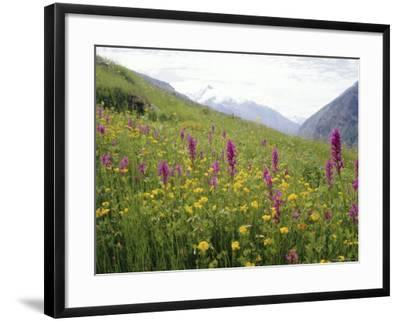 Wild Orchids Flowering in a Meadow in the Himalayas South of Keylong, Himachal Pradesh, India-Jenny Pate-Framed Photographic Print