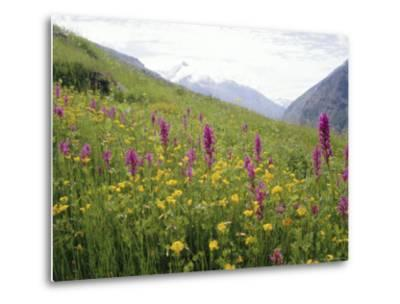 Wild Orchids Flowering in a Meadow in the Himalayas South of Keylong, Himachal Pradesh, India-Jenny Pate-Metal Print