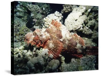 Deadly Stone Fish, off Sharm El-Sheikh, Sinai, Red Sea, Egypt, North Africa, Africa-Upperhall Ltd-Stretched Canvas Print