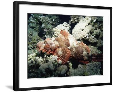 Deadly Stone Fish, off Sharm El-Sheikh, Sinai, Red Sea, Egypt, North Africa, Africa-Upperhall Ltd-Framed Photographic Print