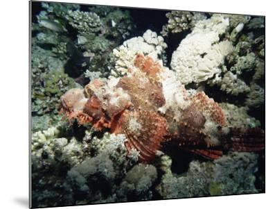 Deadly Stone Fish, off Sharm El-Sheikh, Sinai, Red Sea, Egypt, North Africa, Africa-Upperhall Ltd-Mounted Photographic Print