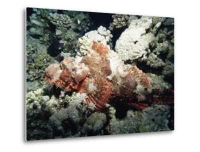 Deadly Stone Fish, off Sharm El-Sheikh, Sinai, Red Sea, Egypt, North Africa, Africa-Upperhall Ltd-Metal Print