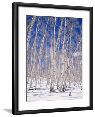 Aspen Trees During Winter, Dixie National Forest, Utah, USA-Roy Rainford-Framed Photographic Print