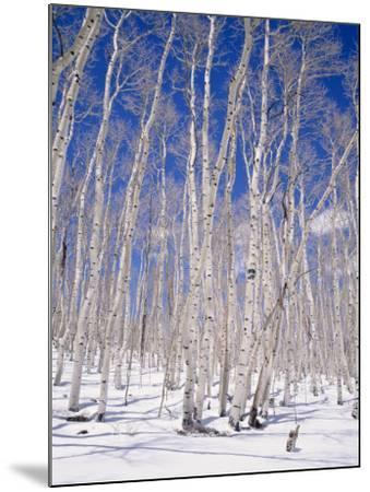 Aspen Trees During Winter, Dixie National Forest, Utah, USA-Roy Rainford-Mounted Photographic Print