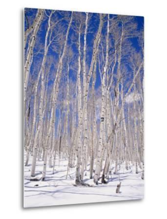 Aspen Trees During Winter, Dixie National Forest, Utah, USA-Roy Rainford-Metal Print