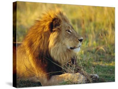 Portrait of a Lion (Panthera Leo), Okavango Delta, Botswana-Paul Allen-Stretched Canvas Print