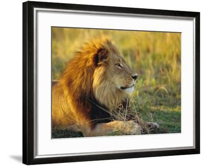 Portrait of a Lion (Panthera Leo), Okavango Delta, Botswana-Paul Allen-Framed Photographic Print