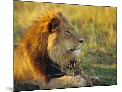 Portrait of a Lion (Panthera Leo), Okavango Delta, Botswana-Paul Allen-Mounted Photographic Print