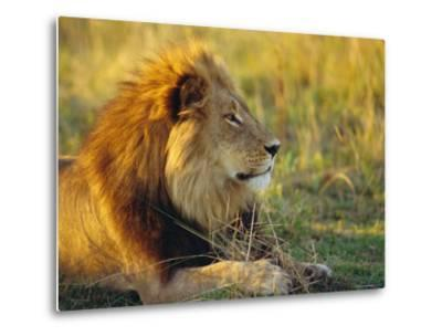 Portrait of a Lion (Panthera Leo), Okavango Delta, Botswana-Paul Allen-Metal Print