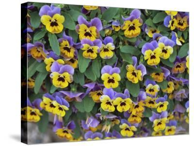 Viola Flowers-Robert Harding-Stretched Canvas Print