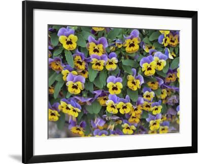Viola Flowers-Robert Harding-Framed Photographic Print