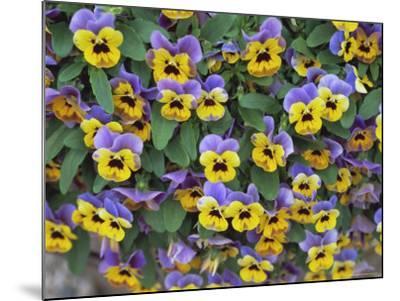Viola Flowers-Robert Harding-Mounted Photographic Print