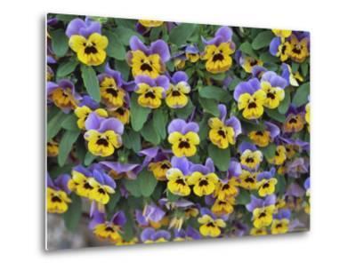 Viola Flowers-Robert Harding-Metal Print