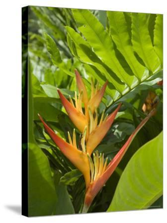 Heliconia, Costa Rica-Robert Harding-Stretched Canvas Print
