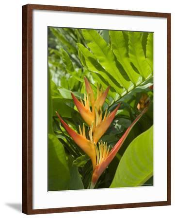 Heliconia, Costa Rica-Robert Harding-Framed Photographic Print