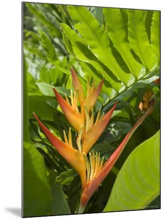 Heliconia, Costa Rica-Robert Harding-Mounted Photographic Print
