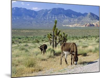 Wild Mules, the Spring Mountains, Nevada, USA-Fraser Hall-Mounted Photographic Print