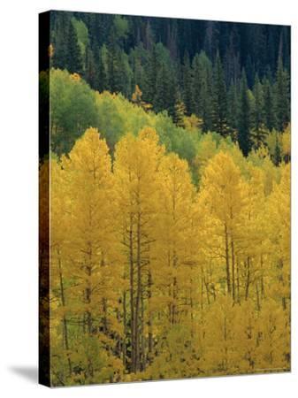 Yellow Aspens, Colorado, USA-Jean Brooks-Stretched Canvas Print