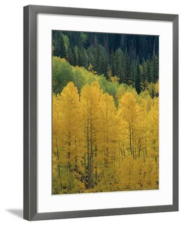 Yellow Aspens, Colorado, USA-Jean Brooks-Framed Photographic Print