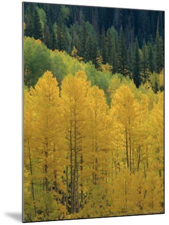 Yellow Aspens, Colorado, USA-Jean Brooks-Mounted Photographic Print